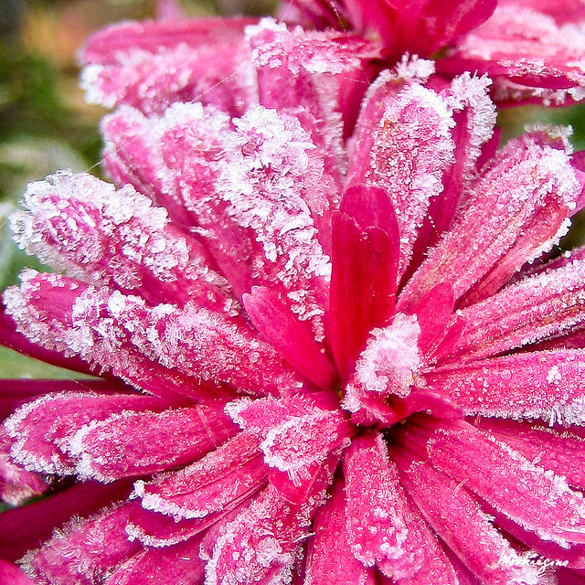 frosted-chrysanthemum-montegregina-square